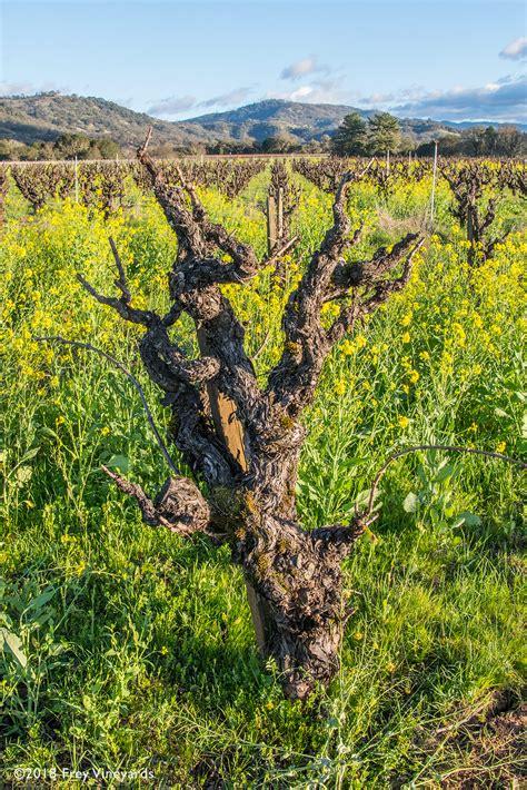 Frey Vineyards Blog
