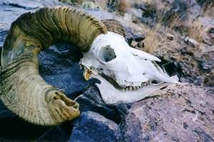 Bighorn Sheep Skull Found On      Photos  Diagrams  U0026 Topos