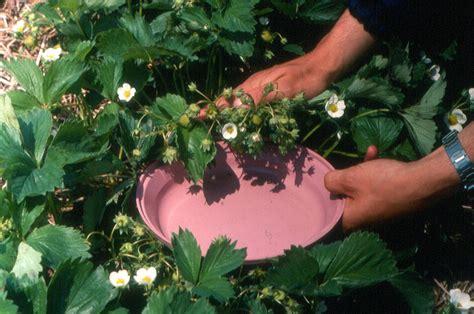 tarnished plant bug strawberries ontario cropipm