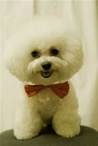images of bichon poo haircuts