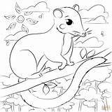 Coloring Possum Pages sketch template