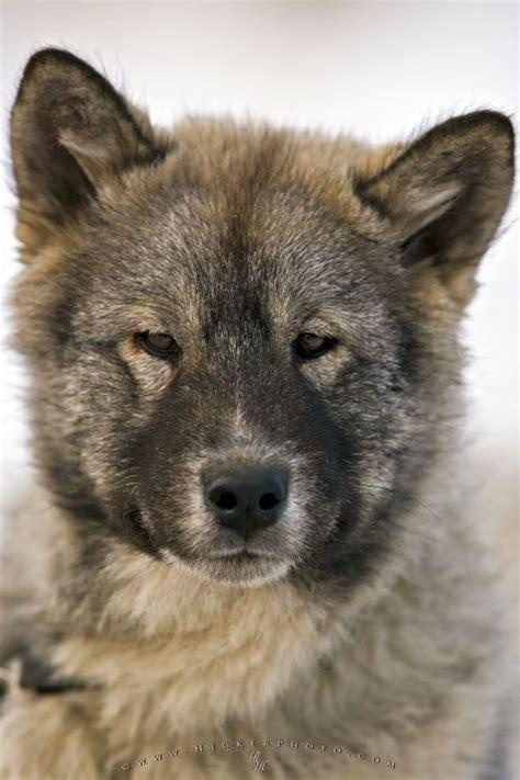 canadian eskimo dog images  pinterest canadian