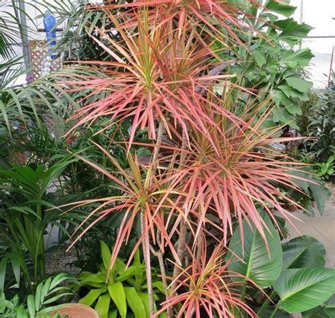 tanaman hias dracaena tricolor tanaman dracaena marginata tricolor bibitbunga