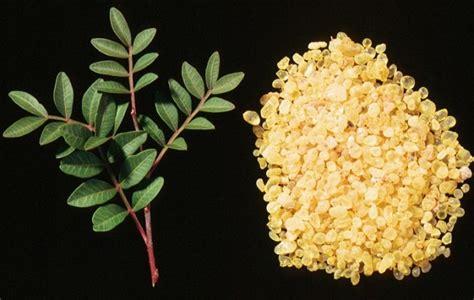 mastic tree essential oil lentisk hermitage oils