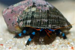 Electric Blue Knuckle Hermit Crab Calcinus elegans