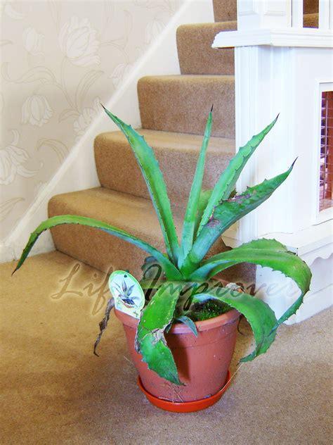 plante interieur et exterieur plante aloe vera dans un pot int 233 rieur et ext 233 rieur maison agove americana ebay