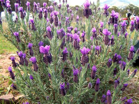 lavander plant file topped lavender jpg wikipedia