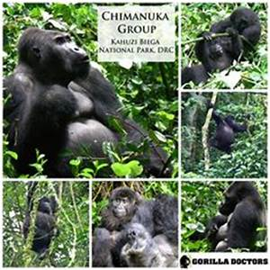 1000+ images about The Grauer's Gorilla on Pinterest ...