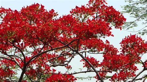 lady  red gulmohar  summer   pankaj oudhia youtube