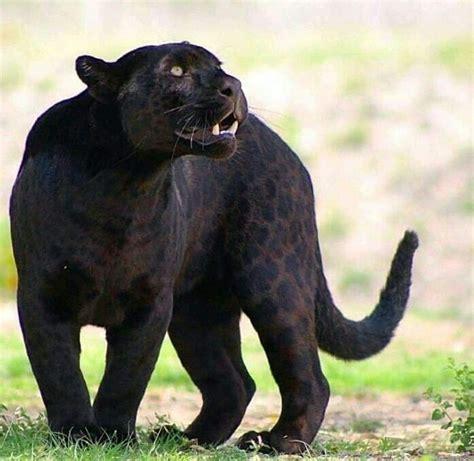 Black Jaguar by This Piccie Of A Black Jaguar So Majestic And Awe So