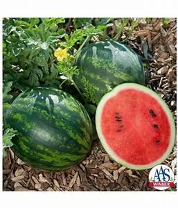 Summer Watermelon Fruit Seed