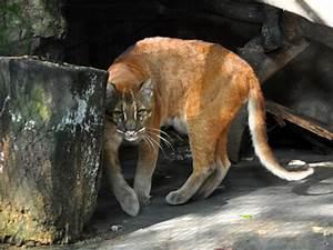 Catopuma Temminckii Dominicanorum    Asiatic Golden Cat In Zoos