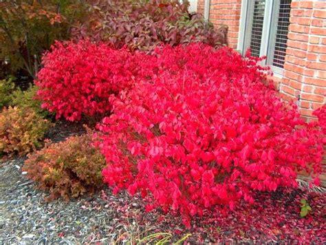 evergreen flowering shrubs for sun dwarf flowering shrubs itsfashion club