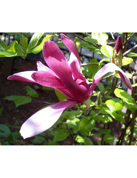 magnolia in vaso magnolia lilliflora nigra vaso 24 cm vendita piante on