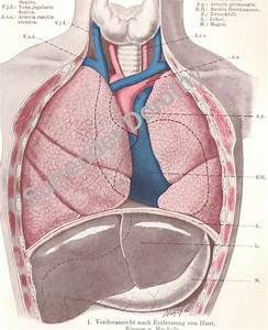 Vintage Human Anatomy Lungs Chest 1906 Medical Chart