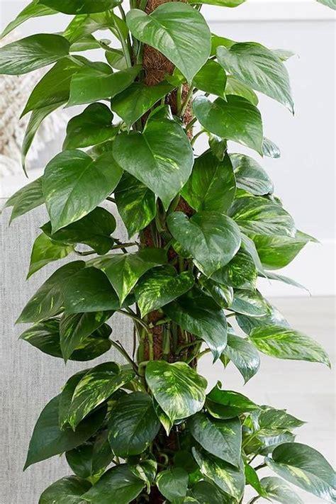 Money Plant - Air Purifying - Indoor Plants | Plantshop.me