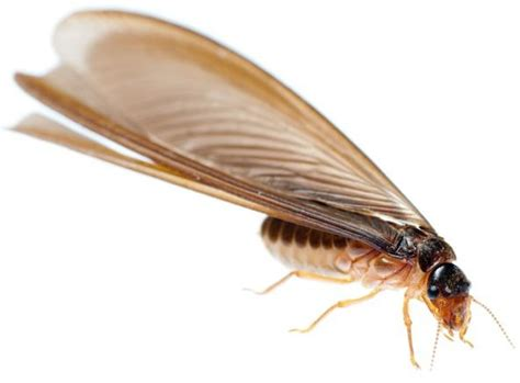 how to get rid of bugs in kitchen cabinets how to get rid of flying termites winged termites 9905