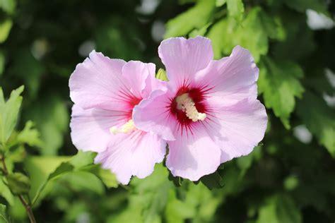 hibiskus schneiden   schnitte fuer eine grosse