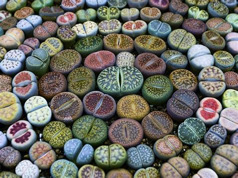 where to buy succulent how to grow lithops from seed of succulents