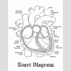 Heart Diagram Labeled Worksheet  Google Search  Home School Science  Pinterest Heart