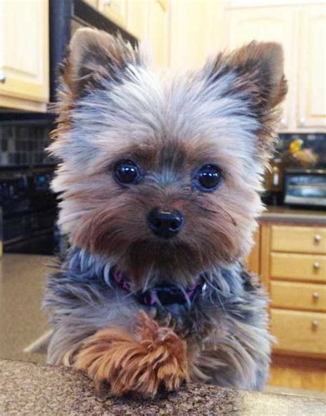 what does 100 square look yorkie haircuts 100 terrier hairstyles