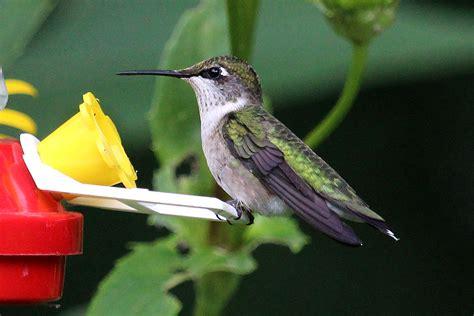 ruby throated hummingbird  yard biology