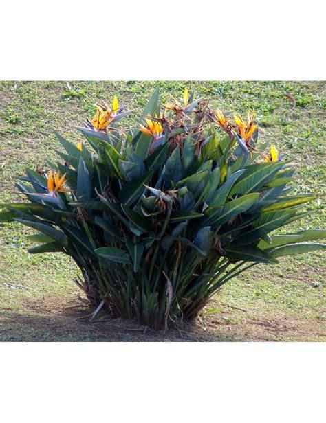 fiore sterlizia sterlizia uccello paradiso vaso 30 cm vendita