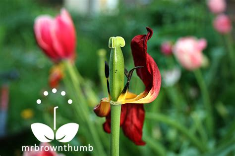 how to care for tulips caring for tulips after blooming mrbrownthumb