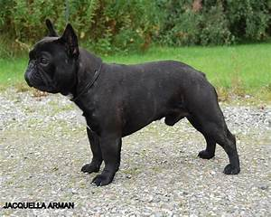 French Bulldog Breed Guide - Learn about the French Bulldog.  French
