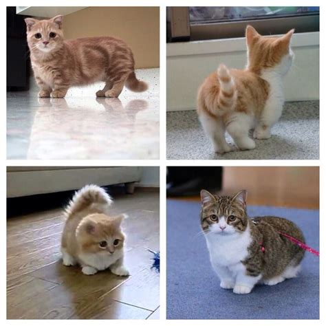 The 25+ Best Munchkin Cat Ideas On Pinterest Short