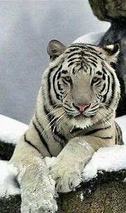 Marvelous 25 Best White Tiger Photographic https ...