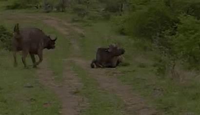 Lion Bull Hunting Amazing Gifs Animal Giphy