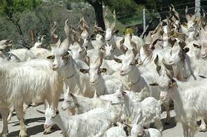 Girgentana | Italian Goat Consortium