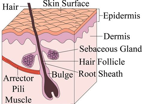 stem cells regenerate hair follicles understanding male