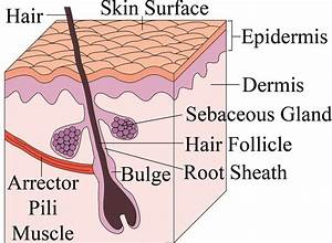 Stem Cells regenerate hair follicles - understanding male ...