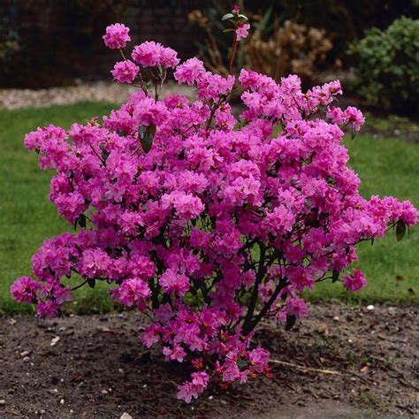 how to plant a rhododendron shrub rhododendron praecox evergreen shrubs season of interest shrubs dawna s all in one