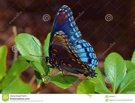 Red-spotted Purple Admiral Butterfly Blue Stock Photo