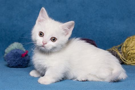 How Much Do Munchkin Cats Cost? All You Need To Know