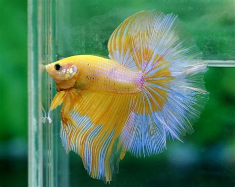 betta fish yellow butterfly halfmoon betta