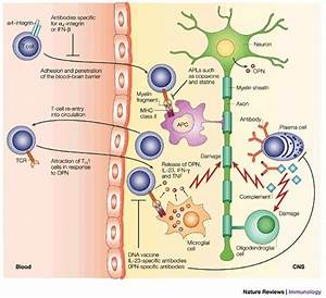 The Inflammatory Phase Of Multiple Sclerosis T Cells  B
