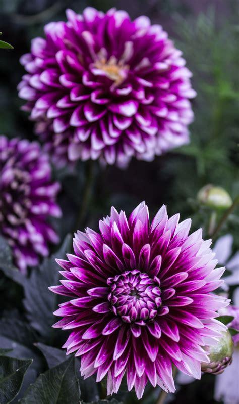 Imagine de stoc gratuită cu centrale, dalie, floare