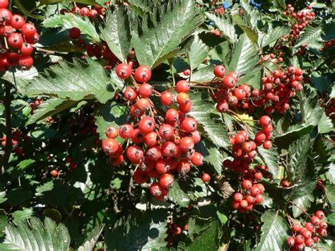 berries on tree file red tree berries jpg