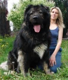 The Shed Book Nz by Animal Photo The Newfoundland Dogs