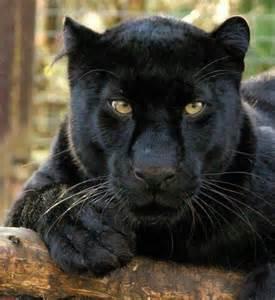 black panther cat black panther animals i