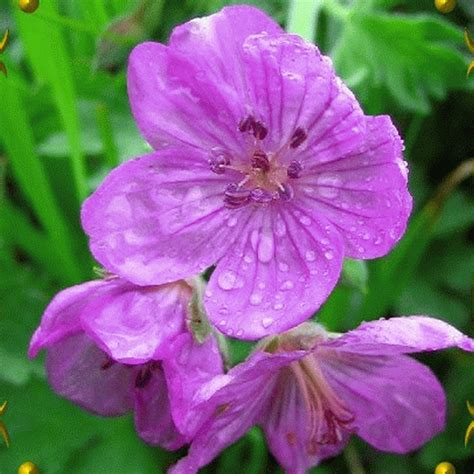 geranium viscosissimum sticky purple geranium wildflower