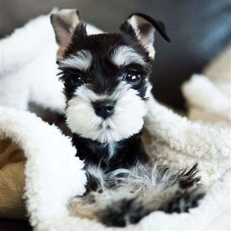 Many (Not so Miniature) Facts About Miniature Schnauzer ...
