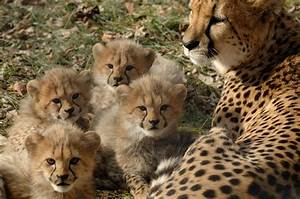 One Of The Many Litters Of Cheetah Cubs Born At The Zoo U0026 39 S