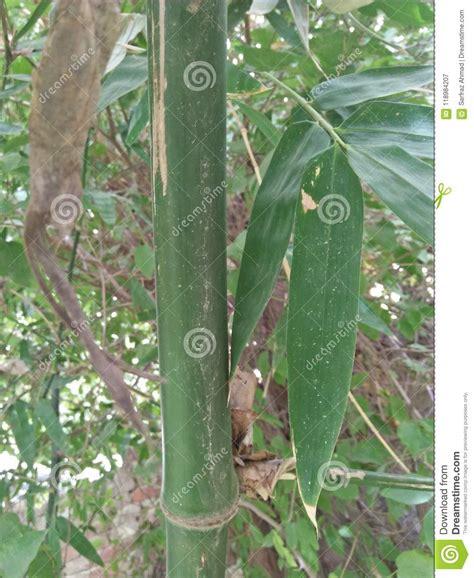 grouper compacte masse bambous genre grand est groupe froid