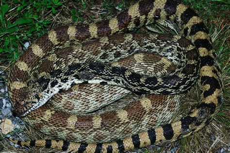 Bullsnake Rogers Benton County Arkansas Usa This