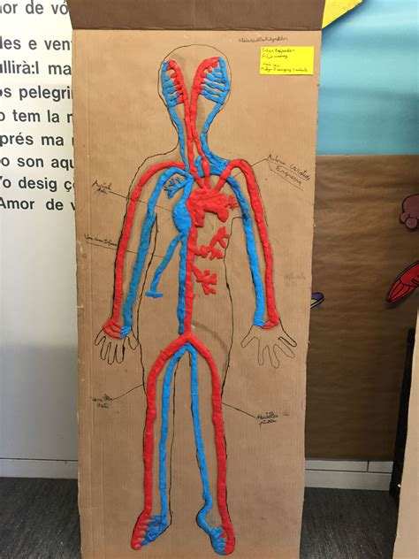 aparell circulatori a l escola el cos hum 224 cuerpo humano educacion primaria y